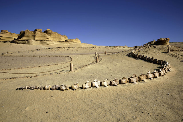 "Fossilized whale bones are on display  outside the Wati El Hitan Fossils and Climate Change Museum, a UNESCO natural World Heritage site, on the opening day, in the Fayoum oasis, Egypt, Thursday, January 14, 2016. Egypt has cut the ribbon on the Middle East's first fossil museum housing the world's largest intact skeleton of a ""walking whale"" in an attempt to attract much-needed tourists driven off by recent militant attacks. The construction of the much-hyped Fossils and Climate Change Museum was covered a 2 billion euros (2. 17 billion dollars) grant from Italy, according to Italian Ambassador Maurizio Massari. (Photo by Thomas Hartwell/AP Photo)"