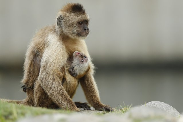 A baby capuchin monkey hangs from its mother at the Parque del Este in Caracas, August 9, 2013. (Photo by Jorge Silva/Reuters)