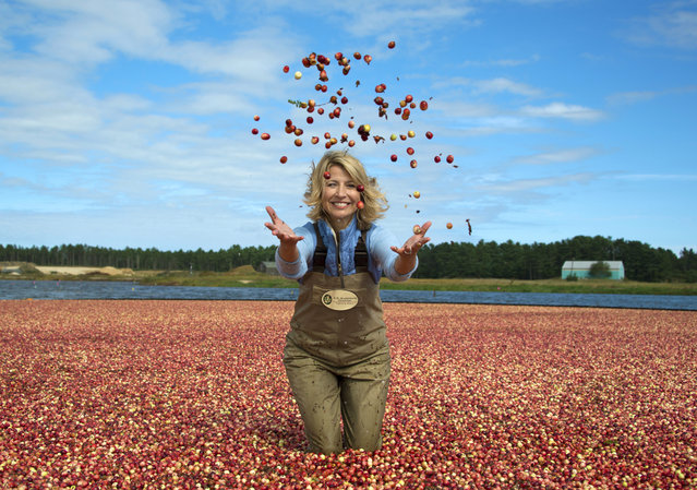 "This image released by PBS/BBC shows co-host Samantha Brown in a cranberry bog in Wareham, Mass. to promote the three-night public TV series, ""AutumnWatch New England"",  The series will showcase the season's glories, including the great outdoors, food and fall traditions. (Photo by PBS/BBC via AP Photo)"