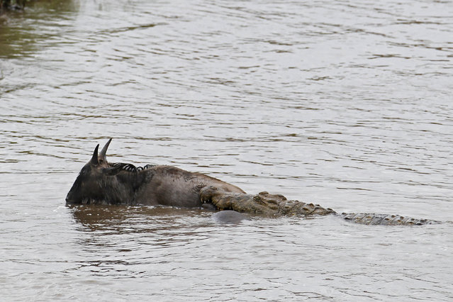 The gnu struggling to get to the bank of the river is dragged back by the crocodile. (Photo by Vadim Onishchenko/Caters News)