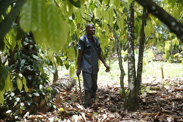 Cocoa farmer Ebenezer Akinmade, 56, works on a Cocoa farm in ile-Oluji village, in Ondo state, southwest Nigeria March 29, 2016. (Photo by Akintunde Akinleye/Reuters)