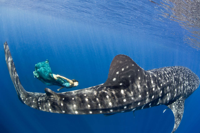 Maco swimming with Whale Sharks in Mexico, Cancun. (Photo by Jeremy Farris/Caters News)