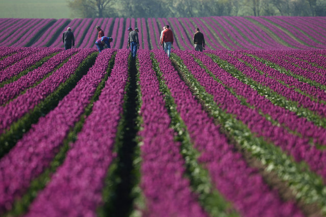 Workers inspect rows of tulips at the Degenhardt-Sellmann Spezialkulturen tulip fields near Magdeburg on May 2, 2016 in Schwaneberg, Germany.The company cultivates up to 10 different strains of tulips on 40 hectares of land to harvest not the flowers but the bulbs.  (Photo by Sean Gallup/Getty Images)