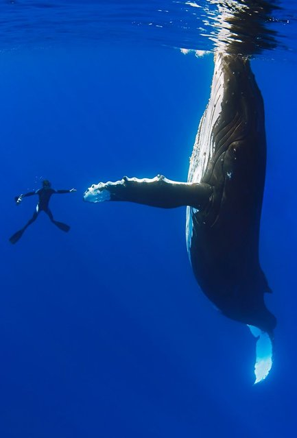 This is the moment a diver appears to shake hands with a giant 52ft whale. The divers were just metres away when one humpback whale – which weighs 36,000kg – extends its giant flipper in a peaceful manner. (Photo by Masa Ushioda/SeaPics/Solent News & Photo Agency)