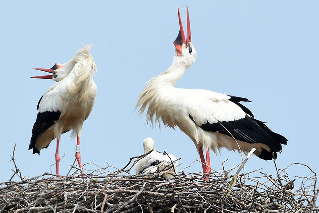 Two parent storks clatter as they feed their offspring in a nest at Lake Steinhude in Bokeloh, Germany, 23 May 2016. One of the birds had been looking for food for about two hours. (Photo by Holger Holleman/EPA)