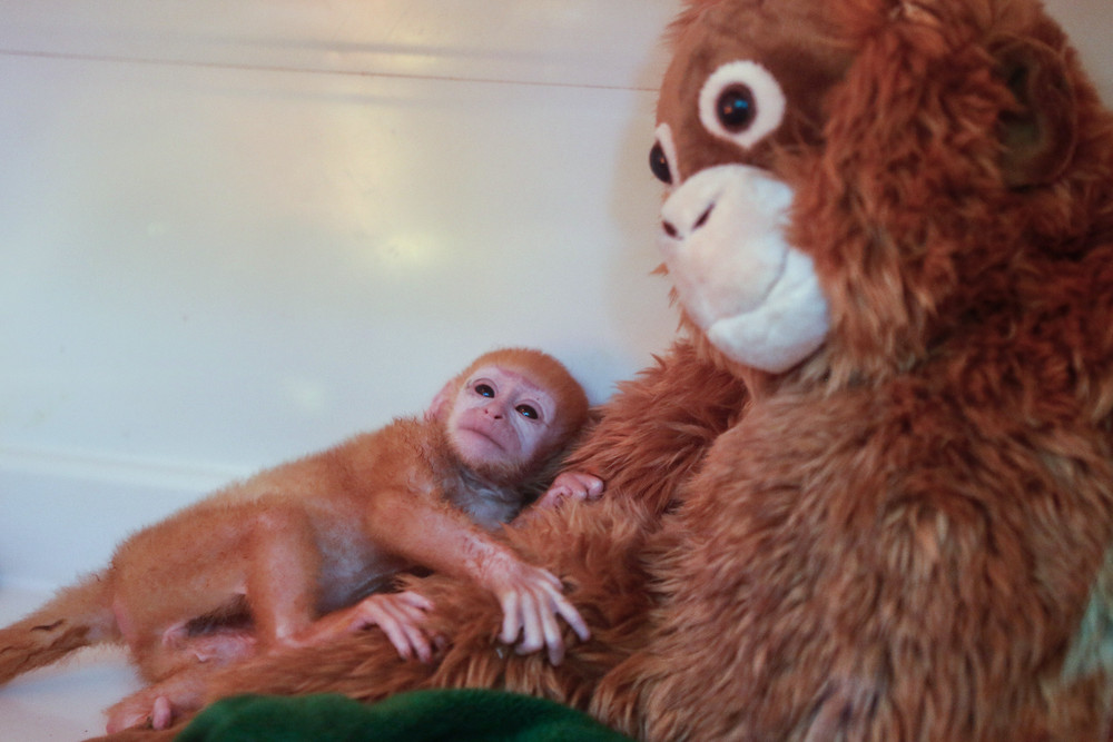 Bali Zoo Welcomes Adorable Newborn Javan