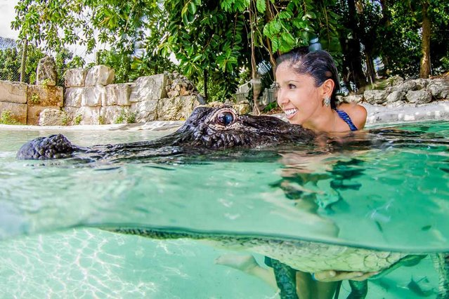 Assistant photographer Adriana Canargo swims with an alligator for the first time. (Photo by John Chapa/Barcroft Media)