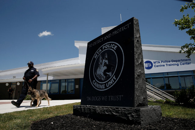 Metropolitan Transit Authority (MTA) Police Officer Jason Wharton walks with his K-9 partner Mikey, a German Shepherd, as they train outside the new MTA Police Department Canine Training Center in Stormville, New York, U.S., June 6, 2016. (Photo by Mike Segar/Reuters)