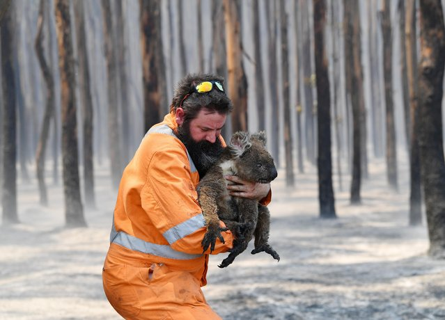 Adelaide wildlife rescuer Simon Adamczyk is seen with a koala rescued at a burning forest near Cape Borda on Kangaroo Island, southwest of Adelaide, Australia, January 7, 2020. (Photo by David Mariuz/AAP Image via Reuters)