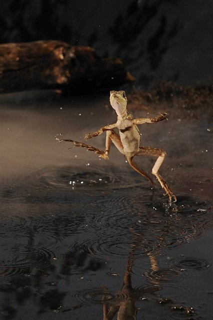 The Brown Basilisk is also referred to as the Jesus Lizard