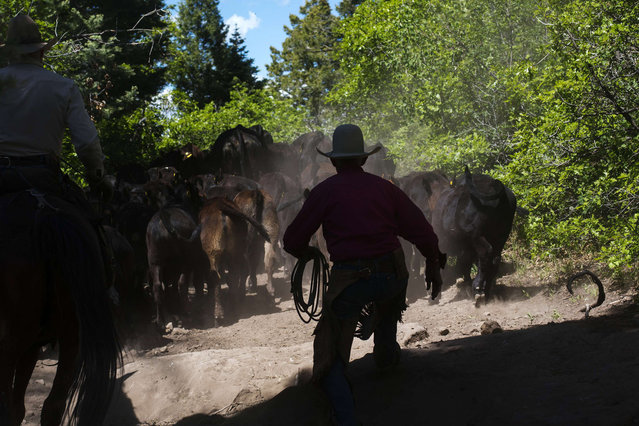 Cowboys Rollo Mangus (L) and David Thompson work to move a large group of calves up a trail during a week-long operation to gather cattle near Ignacio, Colorado June 11, 2014. The land where the cattle graze is leased from the Forest Service by third-generation rancher Steve Pargin. Several times a year, he and a crew led by his head cowboy, David Thompson, spend a week or more herding cattle from mountain range to mountain range to prevent them from causing damage to fragile ecosystems by staying in a single area too long. (Photo by Lucas Jackson/Reuters)