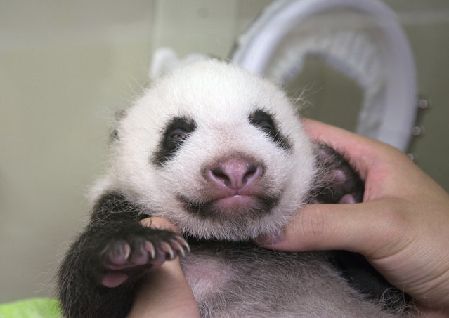 This Saturday, July 22, 2017 photo released by Tokyo Zoological Park Society, shows a giant panda cub at Ueno Zoo in Tokyo. The baby panda, born in June, got a check up on Saturday. (Photo by Tokyo Zoological Park Society via AP Photo)