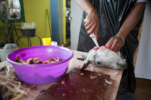 A man removes bones from the head of a goat during a Santeria ceremony in Caracas, Venezuela November 7, 2015. (Photo by Marco Bello/Reuters)