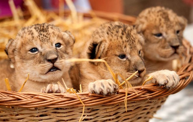 The lion cubs Leon (l-r), Lonka and Leonora sit on August 2, 2014 in the Serengeti zoo in Hodenhagen, Germany. The three were born on July 21, 2014. (Foto by Philipp Schulze/DPA)