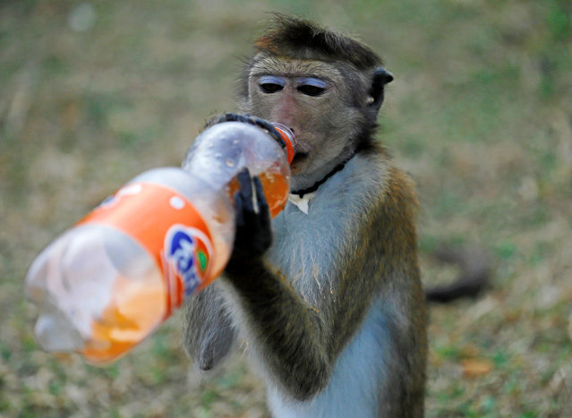 A performing monkey drinks a bottle of soft drink offered by a man on a road in Colombo, Sri Lanka July 15, 2016. (Photo by Dinuka Liyanawatte/Reuters)