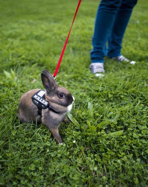 """A rabbit wearing a harness with the imprint """"Killer"""" is walked in during a pet fair Dresden, estern Germany, on September 5, 2012. (Photo by Arno Burgi/AFP)"""