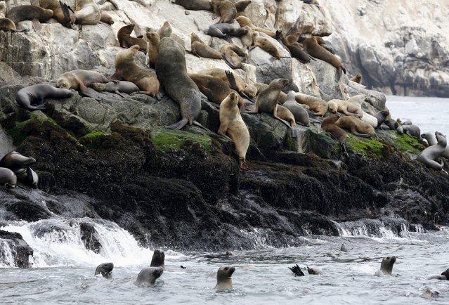 Sea lions are seen at the Palomino island in Callao, Peru, September 12, 2015. (Photo by Mariana Bazo/Reuters)