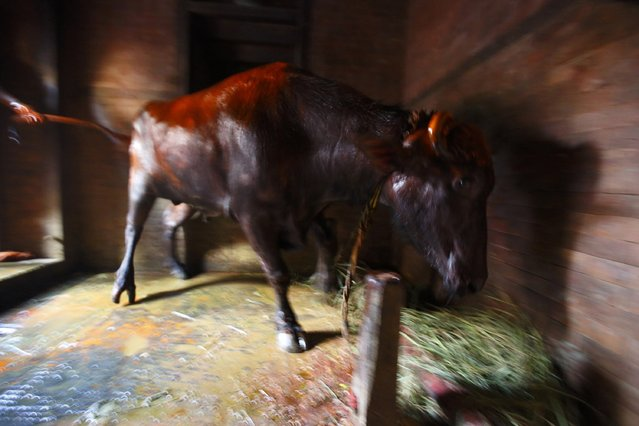 """A buffalo is prepared for a sacrifice inside a temple during the """"Dashain"""", Hinduism's biggest religious festival in Bhaktapur October 2, 2014. (Photo by Navesh Chitrakar/Reuters)"""