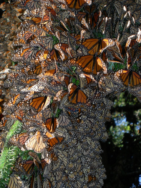 In this undated photo made available by the journal Nature on Tuesday, September 30, 2014, monarch butterflies cluster together as they spend winter in Mexico. The butterflies are famous for migrating from the U.S. and Canada to Mexico for the winter. A study by researcher Marcus Kronforst of the University of Chicago released in the journal Nature on Wednesday, October 1, 2014 suggests the species itself also started out in North America some 2 million years ago, instead of South or Central America. (Photo by Jaap de Roode/AP Photo/Nature)