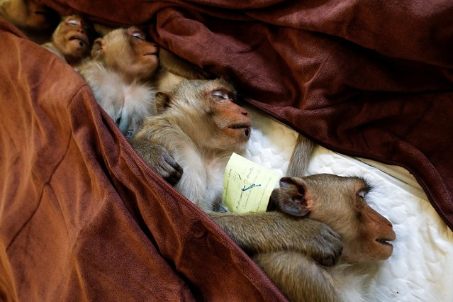 Monkeys are sedated as they recover after a sterilization procedure carried out by the Department of National Parks due to the increase of the macaques population in the urban area and the tourist spots of the city of Lopburi, in Thailand on June 22, 2020. (Photo by Jorge Silva/Reuters)