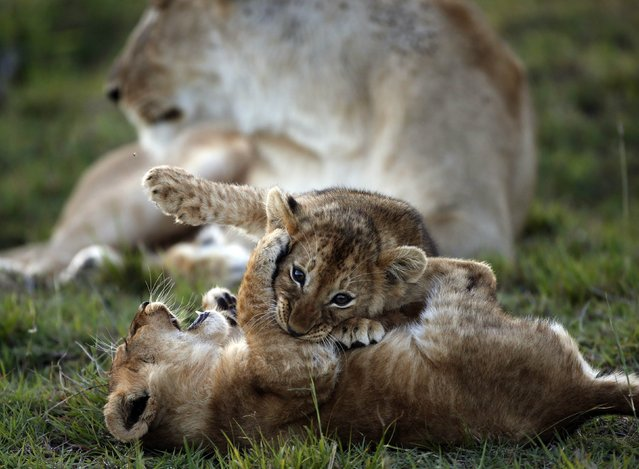 Lion cubs play in front of a lioness at the Naboisho Conservancy adjacent to the Masai Mara National Reserve October 7, 2014. (Photo by Goran Tomasevic/Reuters)