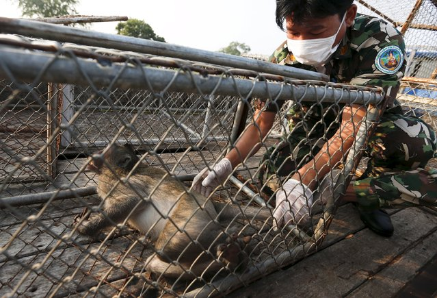 A Thai wildlife department official places a long-tailed macaque into a cage at a village in Bangkok, Thailand, September 21, 2015. Thai authorities were relocating the long-tailed macaques on Monday to lessen conflicts with the local community. (Photo by Chaiwat Subprasom/Reuters)
