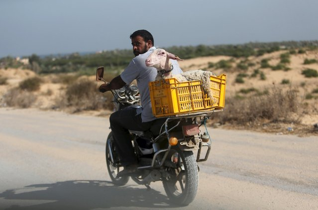 A Palestinian man rides a motorcycle carrying a sheep ahead of the Eid al-Adha festival in Khan Younis in the southern Gaza Strip September 23, 2015. (Photo by Ibraheem Abu Mustafa/Reuters)