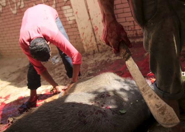 Butchers slaughter a calf on the first day of Eid al-Adha festival in Toukh, El-Kalubia governorate, northeast of Cairo, Egypt, September 24, 2015. (Photo by Amr Abdallah Dalsh/Reuters)