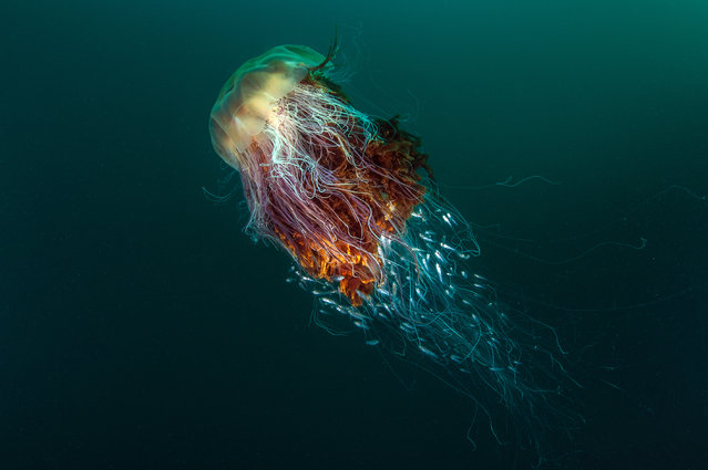 "This year's overall winner and winner of the coast and marine category is George Stoyle with his image ""Hitchhikers"" of a Lion's mane jellyfish, photographed at St Kilda, off the Island of Hirta, Scotland. (Photo by George Stoyle/British Wildlife Photography Awards 2016)"