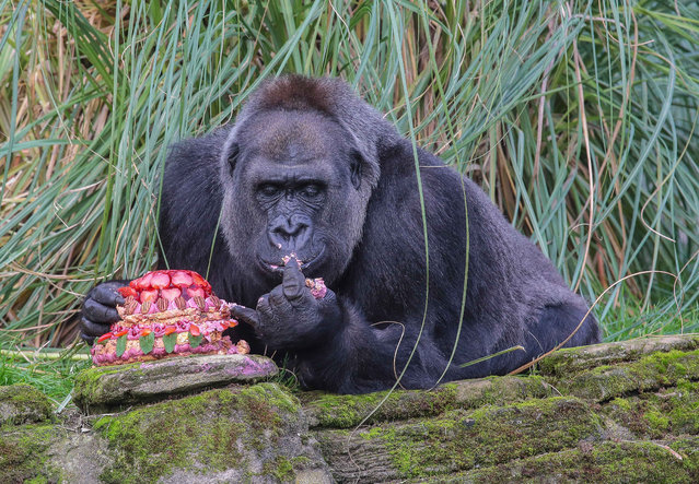 """London Zoo Gorilla Zaire celebrates her 40th birthday, on October 23, 2014. The 16.5-stone western lowland gorilla, marked her milestone with a birthday cake made by runner up on this year's """"Great British Bake Off"""" Richard Burr. (Photo by Jeff Moore/Splash News)"""