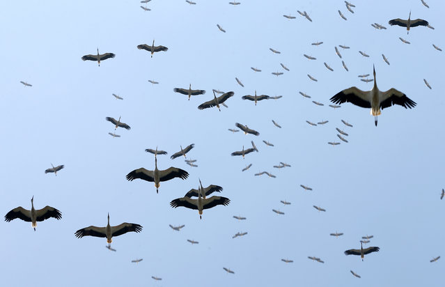 A flock of storks migrating to the south flies over the sky of Istanbul, Turkey on August 22, 2020. (Photo by Isa Terli/Anadolu Agency via Getty Images)