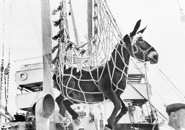 One several hundred mules being delivered to Greece by the UNRRA is swung from a ship to a dock at a port in Greece on October 10, 12, 1945. (Photo by AP Photo)
