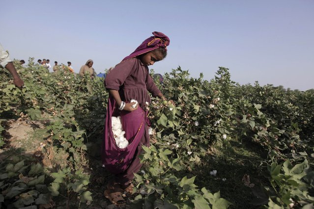 Laali, 11, holds a bloom of cotton plucked from a plant while working with her family in a field in Meeran Pur village, north of Karachi September 25, 2014. (Photo by Akhtar Soomro/Reuters)