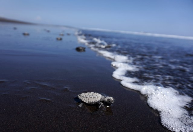 Turtles crawl to the ocean after being released, as part of conservation efforts, on the beach of Puerto Quetzal in Guatemala, November 4, 2015. (Photo by Jorge Dan Lopez/Reuters)
