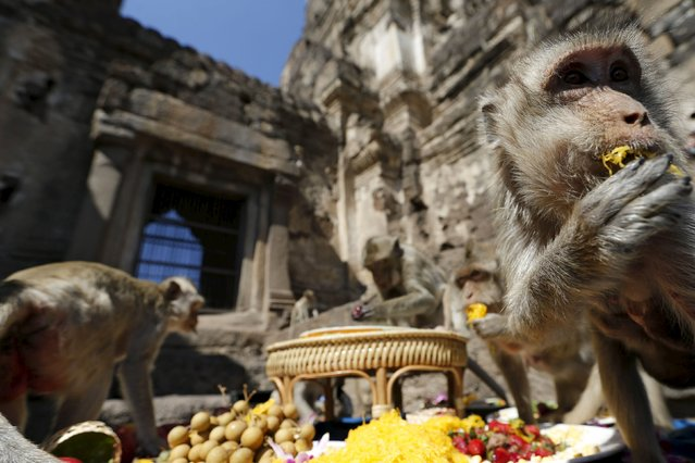 A long-tailed macaque eats fruits during the annual Monkey Buffet Festival at the Phra Prang Sam Yot temple in Lopburi, north of Bangkok, November 29, 2015. People provide food and drinks to the local monkey population, amounting to more than 2,000 monkeys, during this festival to thank them for drawing tourists to the town. (Photo by Jorge Silva/Reuters)