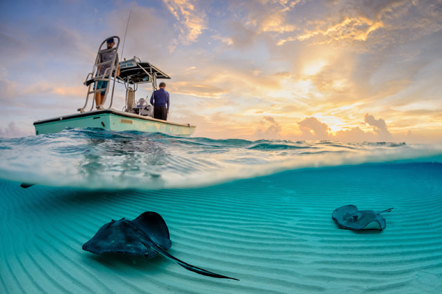 """Stingray Split"". Years ago, fisherman would dump their scraps overboard at this location, as they came into harbour. The southern stingrays (Dasyatis americana) pictured soon learnt about this free meal, and have congregated there in large numbers. Location: Stingray Sandbar, Grand Cayman. (Photo and caption by Thomas Pepper/National Geographic Traveler Photo Contest)"