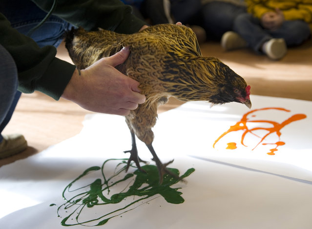 Ollie the Chicken is lowered onto her white paper canvas by Erin Gray, program animal curator at Wesselman Woods Nature Preserve in Evansville, Ind., so she can make another of her paint creations Thursday morning, February 12, 2015. (Photo by Denny Simmons/AP Photo/The Evansville Courier & Press)