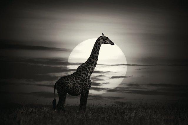 A lone giraffe is caught in the twilight of a glorious sunset in Kenya's Masai Mara. (Photo by Alex Bernasconi)