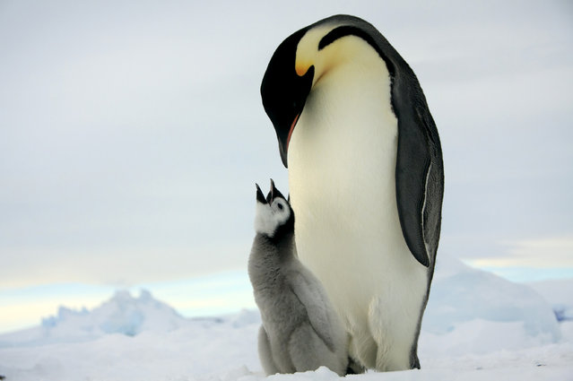 An adult Emperor penguins and a baby one. (Photo by Dafna Ben Nun/Caters News)