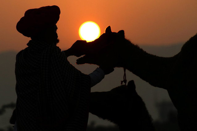 A buyer checks the teeth of a camel during the annual cattle fair in Pushkar,  Rajasthan state, India, Thursday, November 7, 2013. The annual camel and livestock fair attracts thousands of livestock dealers who bring thousands of camels, horses, and cattle. (Photo by Deepak Sharma/AP Photo)