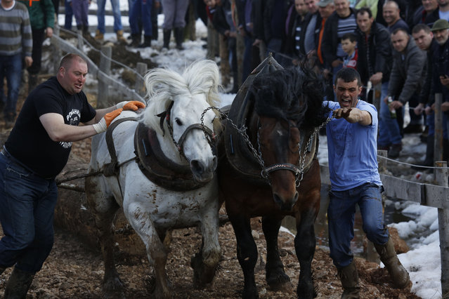 Bosnian men urge their  horses to pull logs up  a hill during a competition in the Bosnian town of Sokolac 50 kms west of Sarajevo, Bosnia,on Monday, April, 13, 2015. (Photo by Amel Emric/AP Photo)