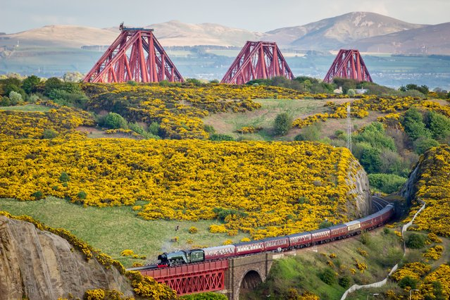 The Flying Scotsman steams through the Scottish countryside with the Forth Bridge in the background on its Borders Railway and Forth Bridge tour. (Photo by Keith Campbell)