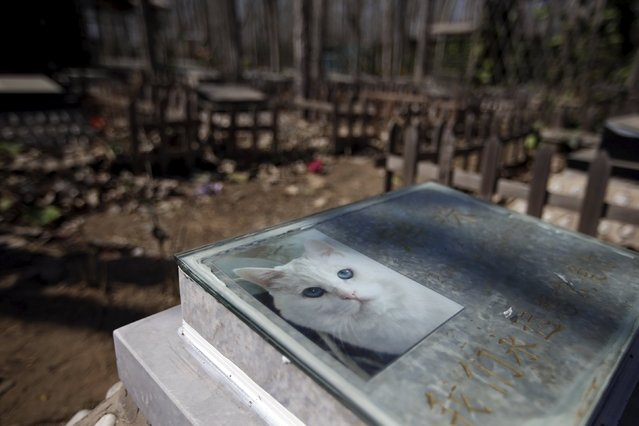 Tomb of pet cat Pangmi, with its picture, is seen at Baifu pet cemetery ahead of the Qingming Festival on the outskirts of Beijing, China March 26, 2016. (Photo by Jason Lee/Reuters)