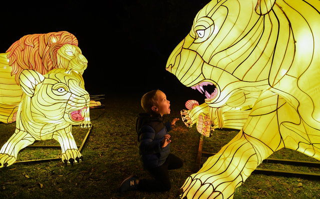Illuminated lantern sculptures some tiger cubs as a young boy roars at one during the media preview of Vivid Sydney at Taronga Zoo on May 19, 2019 in Sydney, Australia. An illuminated trail of almost 300 lit lanterns of endangered species will glow every night at the zoo during Vivid Sydney which runs from May 24 throughout Sydney with hundreds of lit buildings and exhibits which attract hundreds of thousands of visitors each year. (Photo by James D. Morgan/Getty Images)