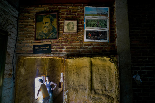 """In this February 28, 2017 photo, images of the late leader Fidel Castro, revolutionary hero Ernesto """"Che"""" Guevara, and tobacco farm scenes, decorate a wall inside a state-run """"drying room"""" where tobacco curers take a work break in San Luis, Cuba's western province Pinar del Rio, Cuba. The drying sheds are full of tobacco leaves, waiting for the moment when they are transformed into hard currency for the country, a welcome development for Cuba's ailing economy. (Photo by Ramon Espinosa/AP Photo)"""