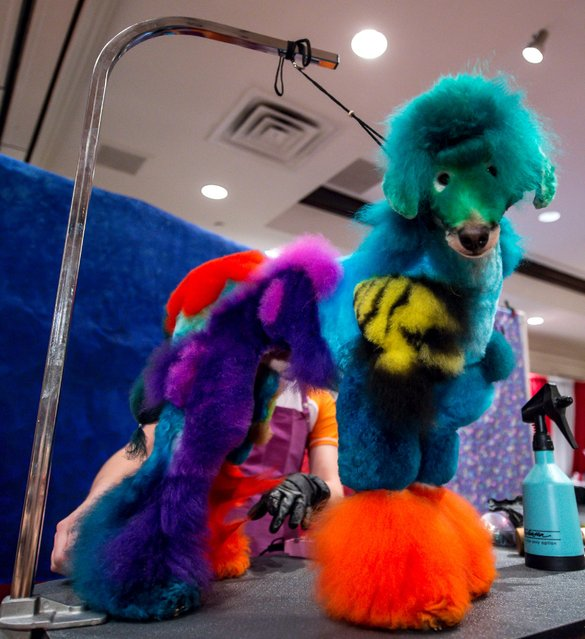 This poodle finished second in the Creative Challenge at Intercom in East Rutherford, N.J., April 7, 2014. The annual conference draws more than 3,000 dog and cat groomers from around the world for seminars, product and equipment shopping, and competitions. (Photo by Paul Nathan/Rex Features)