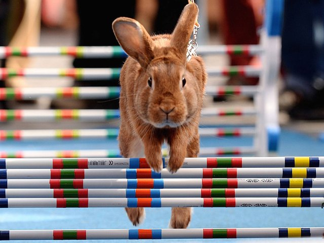 Inspired by equestrian jumping events, rabbit enthusiasts in the Czech Republic organized a bunny hop competition as an early Easter celebration. (Photo by Filip Singer/EPA)