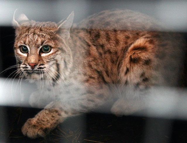 In this December 7, 2007 file photo a bobcat trapped in a snare at the Billings, Mont., airport looks out of his crate before he is released east of Shepherd, Mont. An environmental group is asking a federal judge to halt a United States government program that allows the export of tens of thousands of bobcat pelts and a small number of gray wolf pelts for sale on the international fur market. (Photo by Casey Riffe/The Billings Gazette via AP Photo)