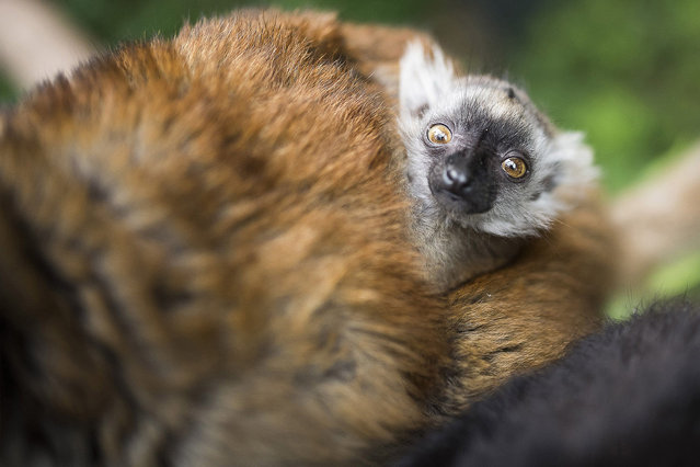 A seven-week old black lemur cub is with its mother in their enclosure in the Nyiregyhaza Zoo in Nyiregyhaza, 245 kms east of Budapest, Hungary, Tuesday, May 24, 2016. The parents arrived to Nyiregyhaza within the framework of the European Conservation Program. (Photo by Attila Balazs/MTI via AP Photo)