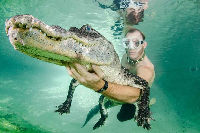 Chris Gillette poses for a photograph with a rescued alligator underwater. (Photo by John Chapa/Barcroft Media)